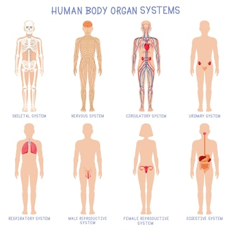Cartoon human body organs systems. anatomical biology systems, skeleton, nervous and reproductive
