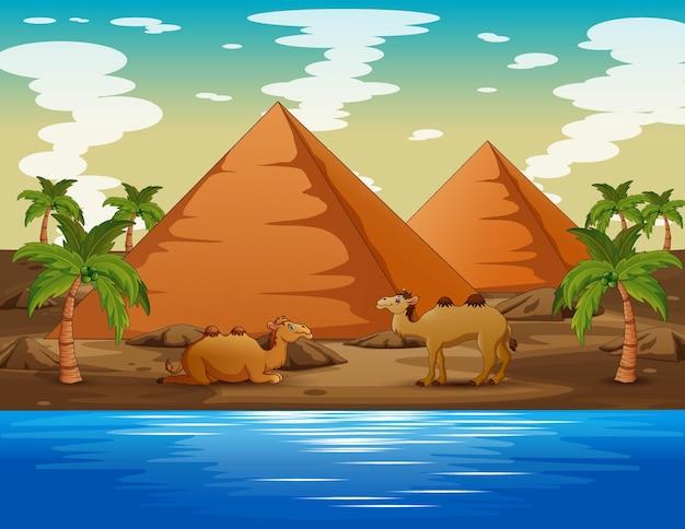 Cartoon illustration of of camels living in the desert