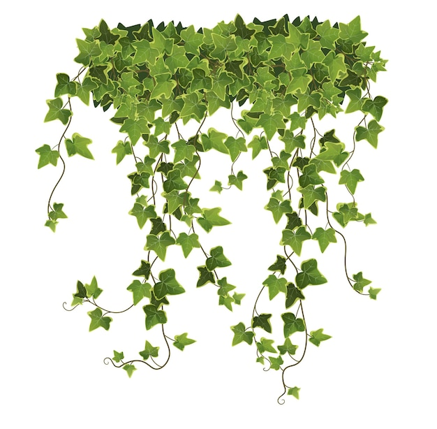 Cartoon ivy plant leaves and branches on white background