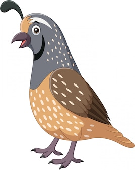 Cartoon smiling quail bird on white background