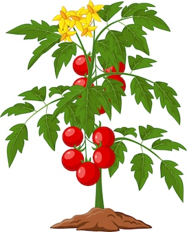 Cartoon tomato plant isolated on white illustration