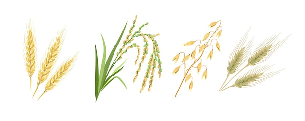 Cartoon wheat, rye, rice and oats spikes