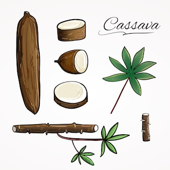 Cassava or yuca plant illustration vector collection set in hand drawn botanical style drawing.