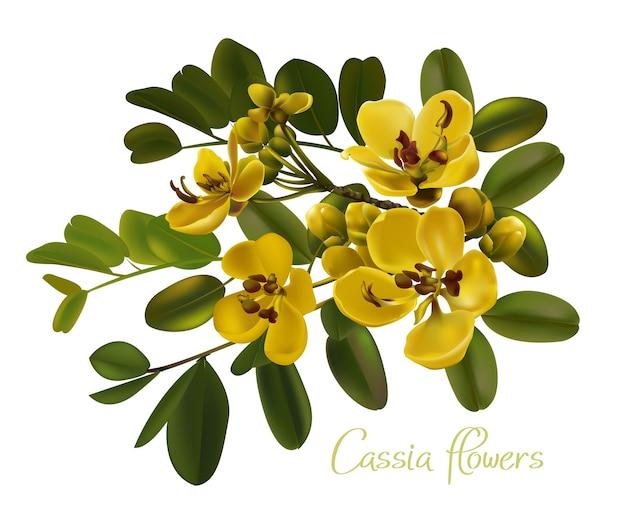 Cassia flowers vector illustration