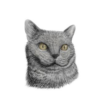 猫の品種のブリティッシュショートヘアの顔、スケッチベクトルカラフルな描画。手描きのペット、動物のクローズアップ