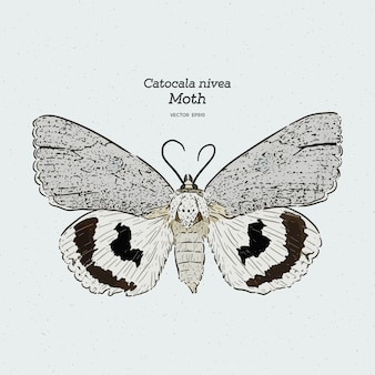 Catocala moth is a generally holarctic genus of moths in the erebidae family, vintage line drawing or engraving illustration.