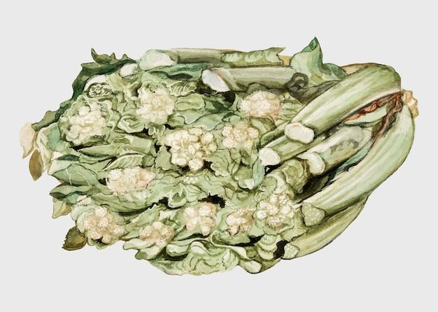 Cauliflower in vintage style