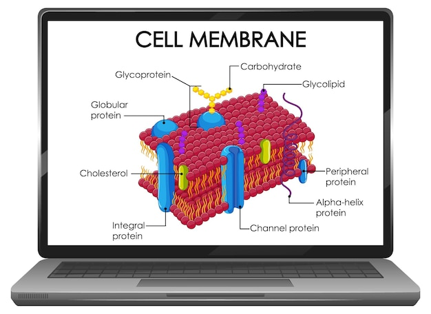 Структура клеточной мембраны на экране ноутбука