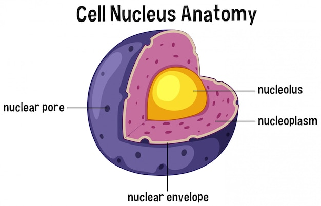 Cell nucleus anatomy diagram