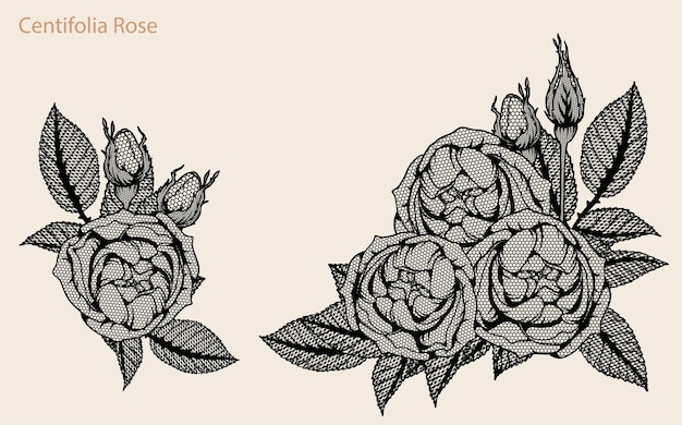 Centifolia rose lace vector set by hand drawing.