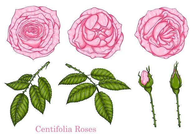 Centifolia rose vector by hand drawing
