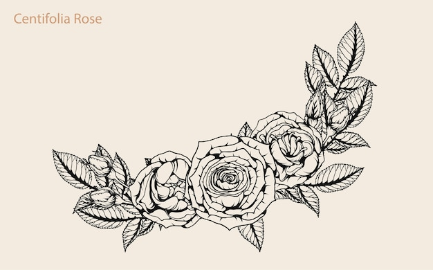 Centifolia rose vector set by hand drawing.