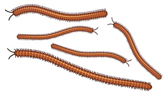 Centipede on White Background