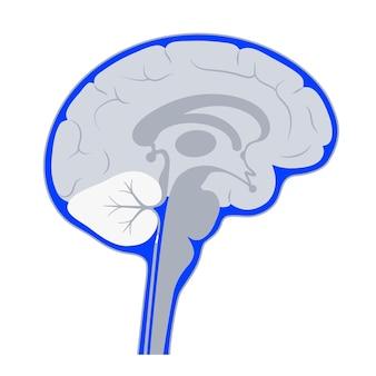 Спинномозговая жидкость в головном мозге. анатомия желудочковой системы. церебральные желудочки векторные иллюстрации