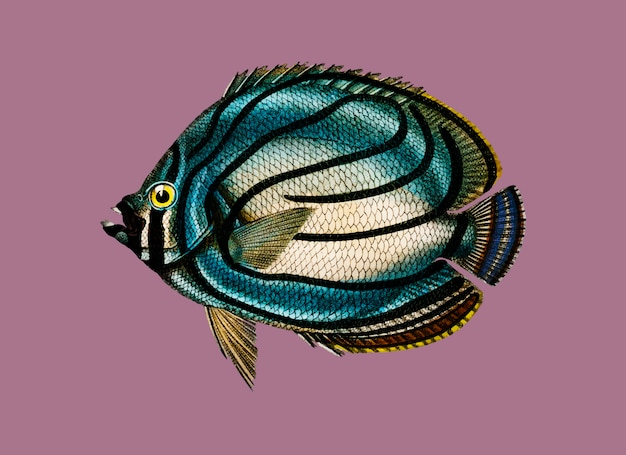 Chaetodon meyeri illustrated by charles dessalines d'orbigny (1806-1876)