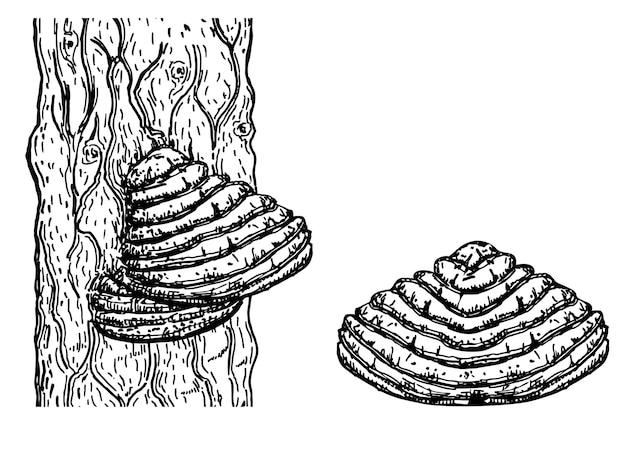 Гриб чага на дереве