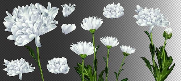 カモミールの花のイラスト。白いデイジーのリアルなイラスト