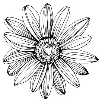 손으로 그리기 카모마일. 라인 아트 스타일 개념에 데이지 휠 꽃입니다. 골동품 빈티지 조각 그림입니다.