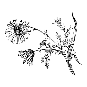 Chamomile by hand drawing. daisy wheel floral   in line art style concept.  antique vintage engraving illustration.