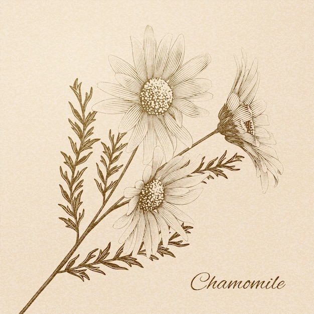 Chamomile in engraved retro style on beige background