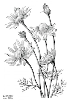 Chamomile flowers hand draw vintage isolated on white background