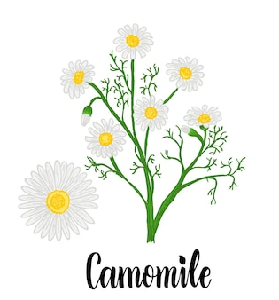 카모마일 또는 데이지 꽃 흰색 배경에 고립 약초 컬렉션