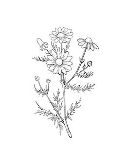 カモミールスケッチ植物の刻まれたカモミール薬用植物のイラスト