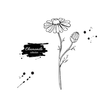 Chamomile vector drawing set. daisy wild flower