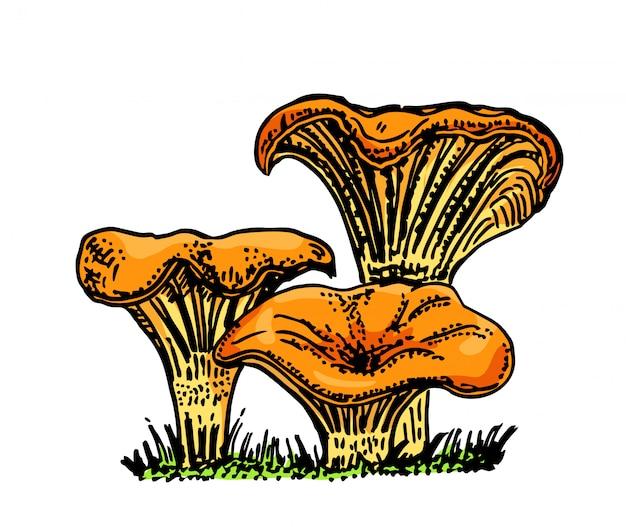 살구 버섯 손으로 그린 그림입니다. 흰색 배경에 음식 그리기 스케치. 유기농 채식 제품. 메뉴, 라벨, 제품 포장, 레시피, 일러스트레이션