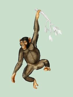 Charles dessalines d'orbigny(1806-1876)が描いたチンパンジー(troglodyte chimpanze)。