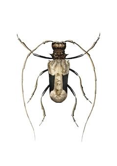 Charles dessalines d'orbignyによって描かれた巨大なアフリカのlonghorn beetle
