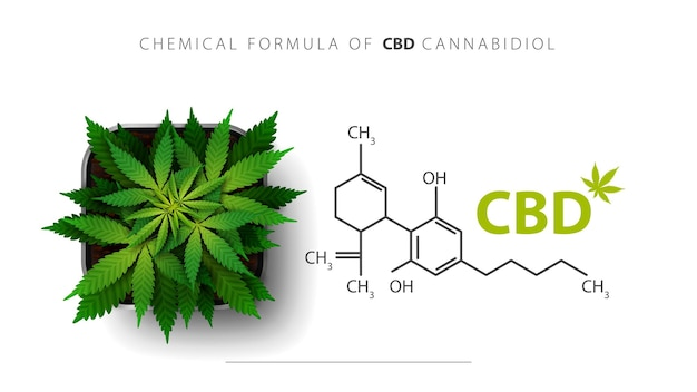 Chemical formula of cbd cannabidiol and cannabis plant grows in a square pot, top view.
