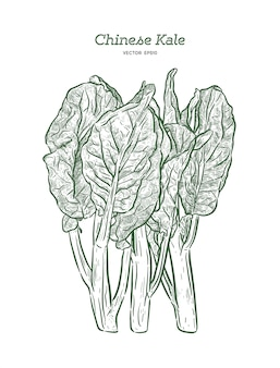 Chenese kale or chinese broccoli, vegetable. hand draw sketch vector.