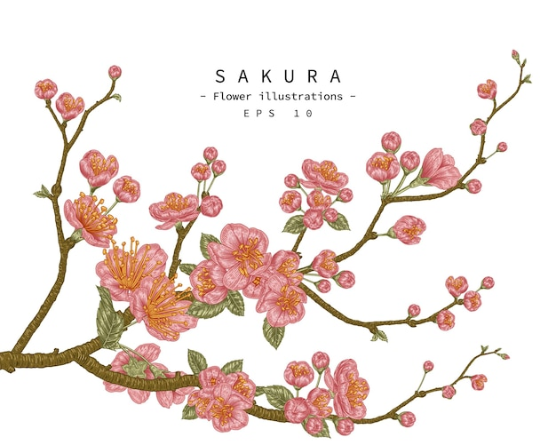 Cherry blossom flower hand drawn botanical illustration.
