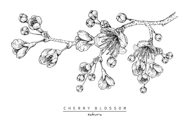 Cherry blossom sakura flower drawings