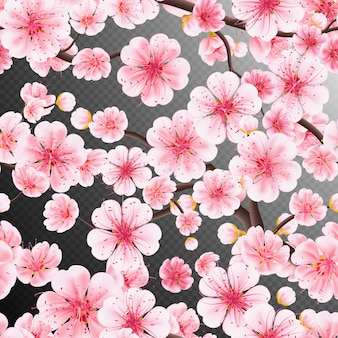 Cherry blossom, sakura flowers branch