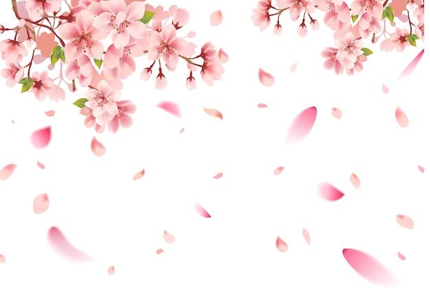 Вишневый цвет сакуры на белом фоне