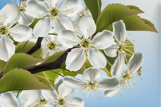Cherry flowers branch close up
