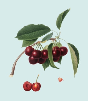 Cherry from pomona italiana illustration