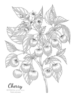 Cherry fruit botanical hand drawn illustration.