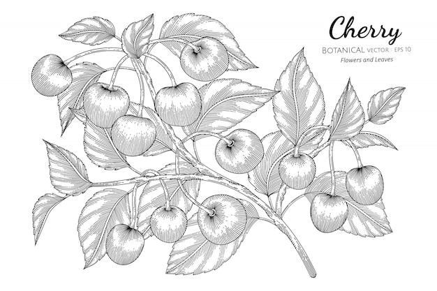 Cherry fruit hand drawn botanical illustration with line art