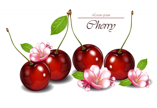 Cherry fruits with flowers vector realistic detailed illustrations