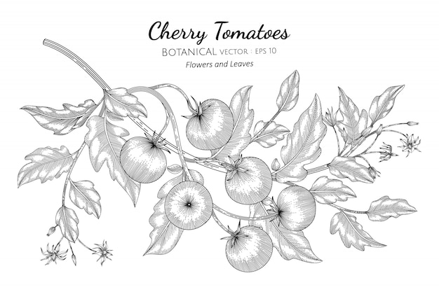 Cherry tomato hand drawn botanical illustration with line art on white