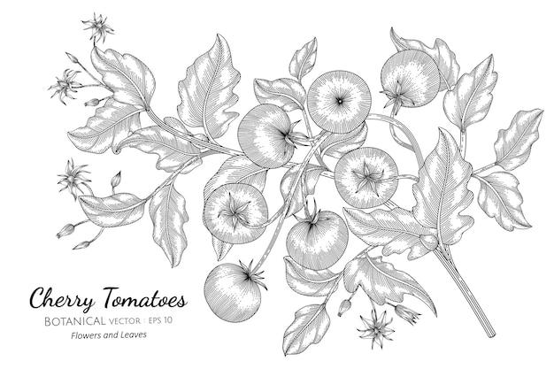 Cherry tomato in hand drawn botanical illustration