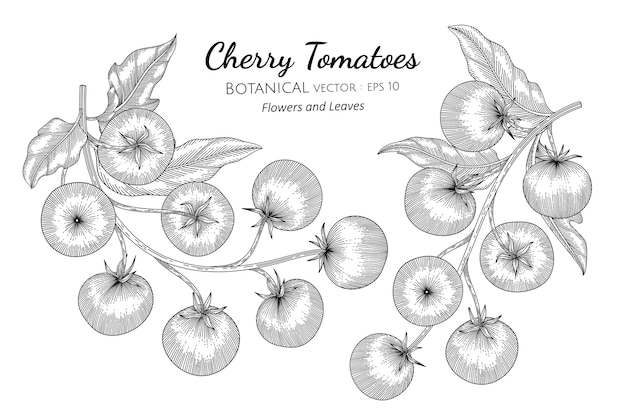 Cherry tomato hand drawn botanical illustration.