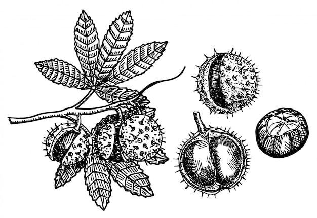 白い背景の上のスケッチの栗セット。果物と栗の枝。植物画。ベクタースケッチ図。