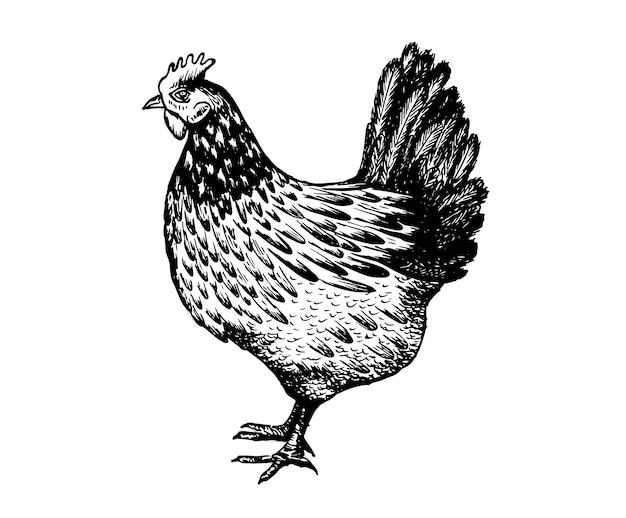 白い背景の上の鶏の手描きイラスト