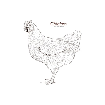 Chicken hand drawn illustration