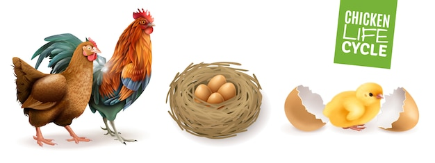 Chicken life cycle realistic horizontal set  with hen rooster fertile eggs and newly hatched chick