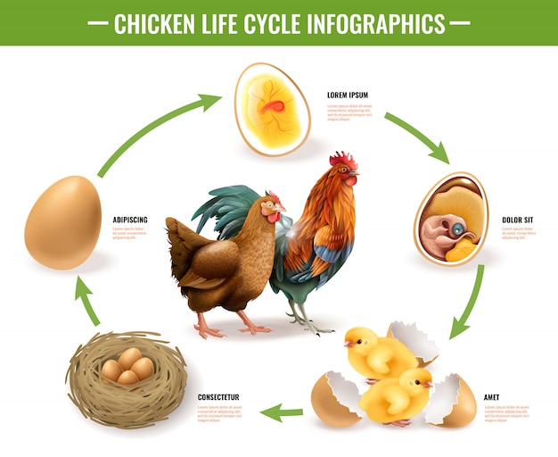 Chicken life cycle stages realistic infographic composition from fertile eggs embryo development to hatching chicks
